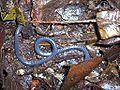 Boulengerula taitanus 1.jpg