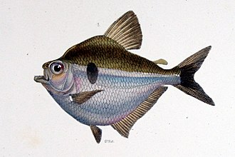 Characidae - Brachychalcinus orbicularis (Stethaprioninae)