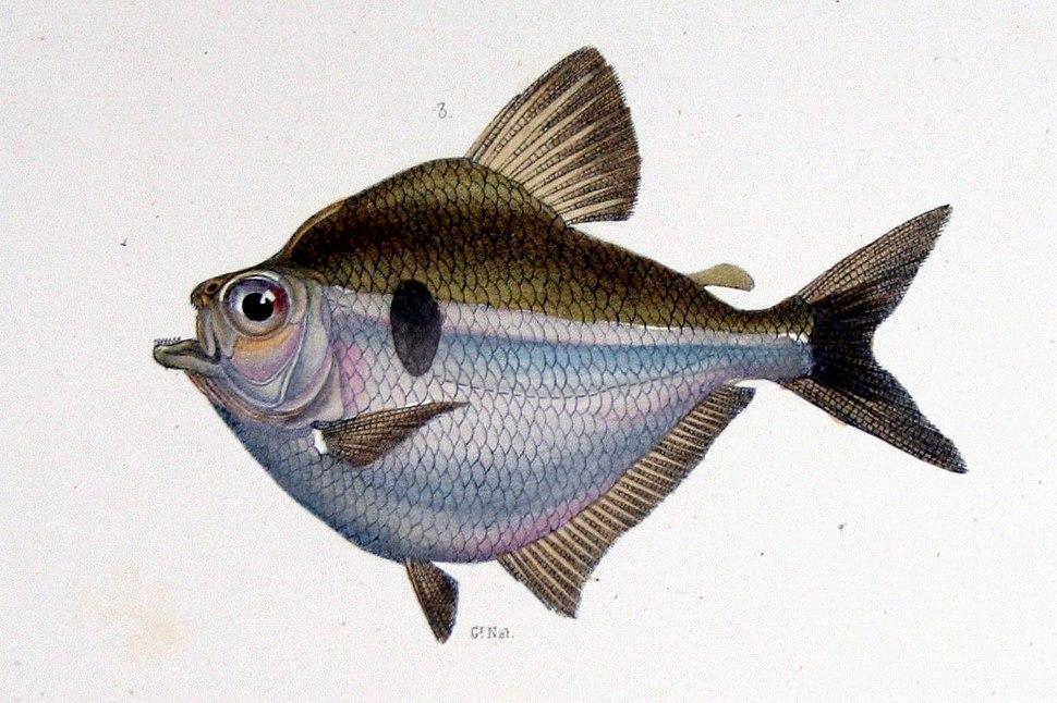 Brachychalcinus orbicularis