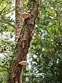 Bracket fungus (10493375326).jpg