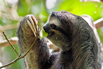 Brown-throated sloth Bradypus variegatus.jpg