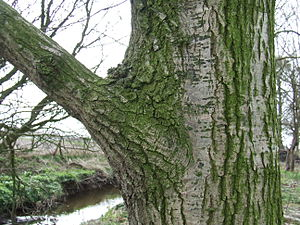Branch collar - A branch collar on a common oak (''Quercus robur'' L.)