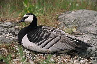 Spontaneous generation - The barnacle goose:  Branta leucopsis