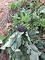 Brassica . oleracea L. (AM AK360625-2).jpg