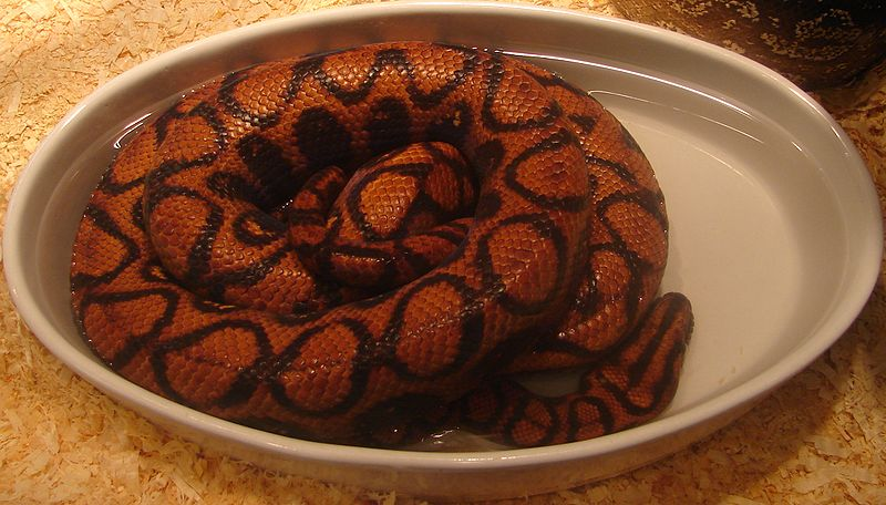 Boa Constrictors And Their Relatives Natural History And