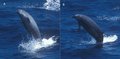 Breaching True's beaked whales.png
