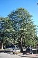 Bright Himalayan Cedar 001.JPG