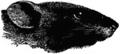 Britannica Rat - Black Rat.png