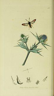 <i>Bembecia scopigera</i> Species of moth