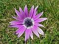 Broad Leaved Anémone (Anemone hortensis) (8338451632).jpg