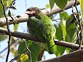 Brown-headed Barbet - Megalaima zeylanica - DSC04469.jpg