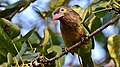 Brown headed barbet at IIT Delhi.jpg