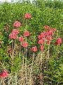 Bryophyllum delagoense habit5 (12079599196).jpg