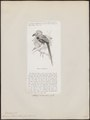 Buceros albocristatus - 1872 - Print - Iconographia Zoologica - Special Collections University of Amsterdam - UBA01 IZ19300161.tif