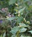 Buchweizen (Fagopyrum esculentum) nach der Blüte.jpg
