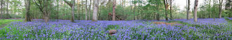 Forestry Commission - A Panoramic in the north-east of Bucknell Wood, part of Whittlewood Forest