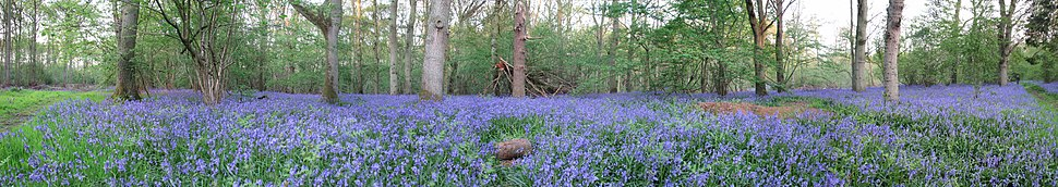 Bucknell Wood - Bluebells