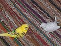Budgerigar and glass bird on carpet.jpg