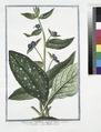 Buglossum latifolium, semper virens - Buglossa - Buglose vivace. (Alkanet or Oxtougue) (NYPL b14444147-1125053).tiff