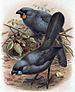 The Orange-wattled South Island Kokako