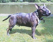 Kampfhund Wikipedia