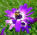 Bumblebee (Bombus pratorum) on flower, Sandy, Bedfordshire (7387394256).jpg