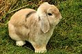 Bunny - Shepreth Wildlife Park (24942031579).jpg