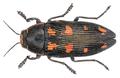 Buprestis novemmaculata Linnaeus, 1758.png