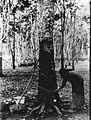 COLLECTIE TROPENMUSEUM Rubber-aftap op de rubberonderneming 'Zeelandia' Oost-Java TMnr 60009872.jpg