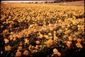 COMMERCIAL FIELDS OF RANUNCULUS - NARA - 542641.tif