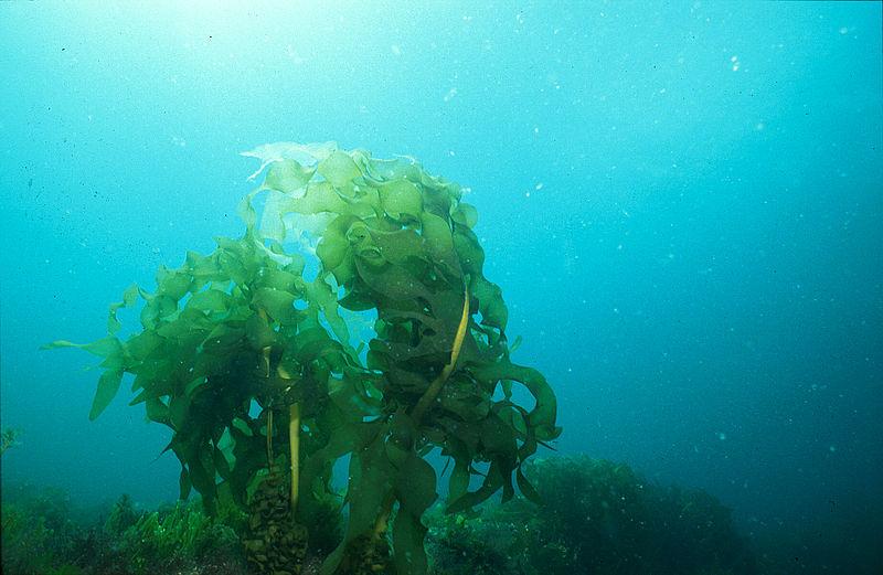 File:CSIRO ScienceImage 867 Undaria pinnatifida Japanese kelp.jpg