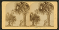 Cabbage palms, from Robert N. Dennis collection of stereoscopic views.png