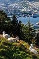 Cabras (Capra aegagrus hircus), montaña Fløyen, Bergen, Noruega, 2019-09-08, DD 32.jpg