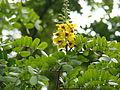 Caesalpinia echinata (1).jpg