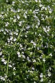 Calamintha nepetoides White Cloud 1zz.jpg