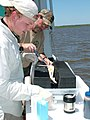Calcasieu Lake spotted seatrout tracking project - Examination.jpg
