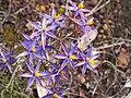 Calectasia grandiflora.JPG