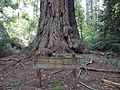 California redwood trees giant tree named Father of the Forest.JPG