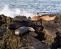 California sea lions in La Jolla (70412).jpg