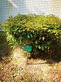 Calliandra haematocephala Hassk 20140106.jpg