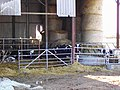 Calves in barn, north of Bishopstone, Swindon - geograph.org.uk - 355605.jpg