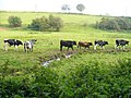 Calves south of Abinger Hammer - geograph.org.uk - 579136.jpg