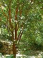 Camellia crapnelliana.jpg