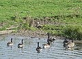 Canada Geese on the Macclesfield Canal, Cheshire - geograph.org.uk - 551654.jpg