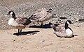 Canada geese (40261).jpg