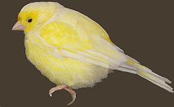 Canario canary pájaro bird.jpg