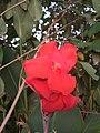 Canna flower.jpeg
