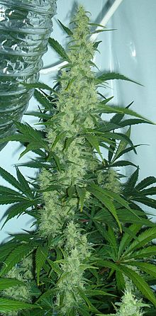Religious and spiritual use of cannabis - Wikipedia, the free ...