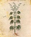 Cannabissativadior.jpg