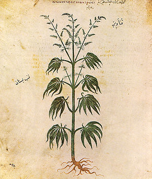 History of medical cannabis - Cannabis sativa from Vienna Dioscurides, 512 AD